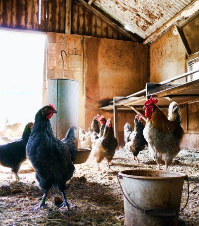Buy The Chicken Coop Online